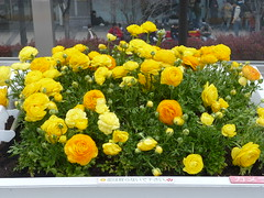 Yellow ranunculi (seikinsou) Tags: flower station yellow japan spring buttercup terrace ranunculus jr osaka osakacity