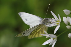 Green Veined White (Chris*Bolton) Tags: ireland flower nature butterfly insect wings butterflies wicklow enniskerry greenveinedwhite supershot mywinners artofimages