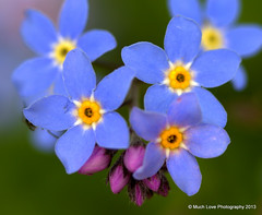 Forget me nots (Samantha Bennett) Tags: flowers macro love photography sam ironbridge coalbrookdale much samantha bennett oca forgetmenots t189