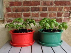 Patio Basil (GirlieErin) Tags: summer plants patio pots basil uploaded:by=flickrmobile flickriosapp:filter=nofilter