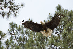 Feeding Time (Jerry Slaughter) Tags: eagle baldeagle bald raptor haliaeetusleucocephalus