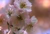Wild apple blossom. (Zierapfel Blüte) (Timbuckto.) Tags: wild apple blossom mygearandme blinkagain flowerthequietbeauty