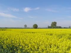 Pola rzepaku (magro_kr) Tags: field spring day poland polska rape pole clear wiosna rzepak pomorze zulawy pomorskie miłocin żuławy milocin