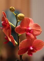 Warmth of orhid.. (tatyburdan) Tags: flowers light red orchid color warmth