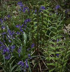 (Light Magnetic) Tags: uk fern woodland hampshire blubells micheldeverwood