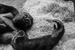 don't look him in the eye (David L.) Tags: leica gorilla m9 zolli zoobasel leicasummicronm1235mmasph