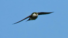 Swallows in flight (Peter Bangayan) Tags: nature birds canon wildlife backyardbirds ef300mmf4lisusm
