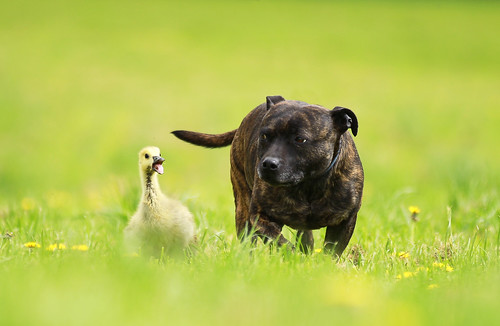 Staffie befriends gosling