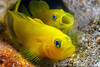 Pair of yellow pygmy-goby