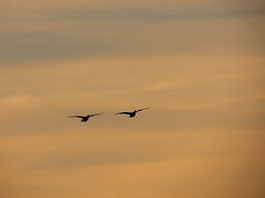 geese in unison (natureburbs) Tags: sunset geese scenic orangesky flyingbird newjerseynature