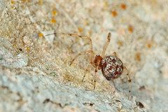 Theridion sp. (A Gatt Floridia) Tags: spiders malta maltese arachnida