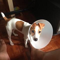 เมล่อนเป็นหมาที่แปลกมาก หมาตัวอื่นจะรำคาญปลอกคอหมาจ๋อย ของเมล่อนพอถอดให้แล้วเห่า เลยต้องใส่ค้างไว้ ฮ่าๆ #melondaily