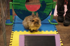 Rabbit Fest 2013 (Tjflex2) Tags: pets canada cute rabbit bunny vancouver mammal furry bc friendship fuzzy conejo small adorable cuddly coelho playful lapin usagi hrs krolik kanin toki houserabbitsociety lepus fenek iepure vrra muyal kelinci ilconiglio vancouverrabbitrescue coinin sungura leporidea rabbitfest2013 leporidaelagomorph