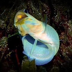 Beautiful #yellowhead #jawfishwitheggs #PADI #scuba #diving #sport #active #awesome #underwater #LSD #SimplyBeautiful #DiveSaintLucia #moray #ray #eel #turtle #lionfish #StLucia #London #LSDscuba #cool #ocean #boat #underwater #pufferfish #octopus #seahor (lsdscuba) Tags: ifttt instagram scuba lsd