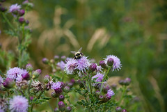 Pollinating Thistles (aitramah) Tags: flowers plants canada nature grass landscape bees thistle bee alberta