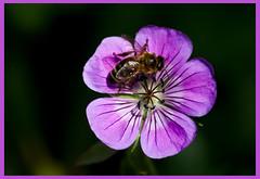 AH62_8236 (der_andyrandy) Tags: blumen blte biene insekt macro outdoor natur canoneos7d amazingamazing thisphotorocks
