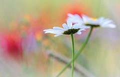 Colorful bokeh! (pat.thom974) Tags: daisy colors bokeh