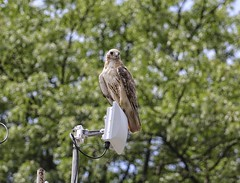 Molting Christo (Goggla) Tags: nyc new york manhattan east village tompkins square park urban wildlife bird raptor red tail hawk adult male christo molt molting