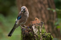 Jay (kfjmiller) Tags: 150600mm 2016 aberfoyle animal august birds corvid forest jay nature nikon nikond610 outdoors queenelizabethforest tamron thelodge trees wildlife wood