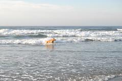 Wildwood 2016 (emilysanto) Tags: dog ocean golden retriever fetch water beach sand morning vacation july