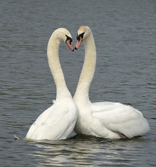 You know I love you, I always will (Peanut1371) Tags: muteswan swans white water nationalgeographicwildlife