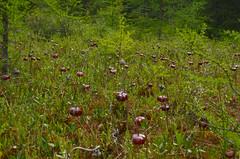 Bog (wackybadger) Tags: wisconsinstatenaturalarea nikon1855mmf3556gafsvr bog sarraceniapurpurea pitcherplant vanderbloemenbogsna nikon nikond7000 sna46 wisconsin manitowoccounty flower red