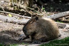 Capybara, zoo de Cerza (Pierre Fauquemberg) Tags: pierrefauquemberg parc zoo parczoologique cerza photographieanimalire nikond750 tamron7020028 tamron70200f28 tamron filtre hoya polarisant hermivallesvaux paysdauge animaux animal animalier faune capybara