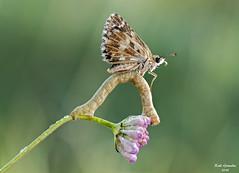 Jeroglfico (raulgranados) Tags: gemetra hesperiidae macro flor macrofotografia
