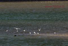 Phoque à la pointe du Hourdel (louis.labbez) Tags: france estuaire somme labbez oiseau bouée baie mer rivière embouchure sea river fleuve hourdel gris bay 80 mouette bird phoque lehourdel picardie