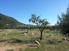 20151106_105256 (coldgazemedia) Tags: photobank stockphoto bluesky blue sheep animal outdoor mallocra majorca spain espaa spainishisland tree grass grazing balearicislands