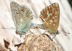 Polyommatus sp , (Lepidoptera Lycnid Polyommatin Polyommatini) (ciaociaoxxx) Tags: polyommatus lepidoptera lycaenidae polyommatinae polyommatini  animalia insecta arthropoda hexapoda