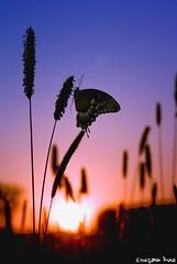 Summer is... (gusdiaz) Tags: photomanipulation digital art photoshop butterfly summer mariposa verano atardecer amanecer sunrise sunset beutiful silueta silhouette amazing splendor colorful colorido snapseed