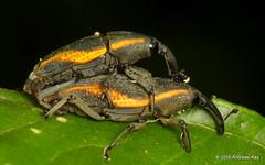 Cactophagus amoenus, Curculionidae (Ecuador Megadiverso) Tags: andreaskay beetle cactophagusamoenus coleoptera curculionidae ecuador loscedros mating weevil