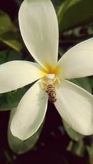 Lunch time for spider... sandfly in menu ;) #whitespider #sandfly #spidersprey #whitefirangipani #flower #whitespider #hundryspider (gbajeli05786) Tags: sandfly hundryspider spidersprey whitespider whitefirangipani flower