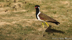 0300 Rotlappenkiebitz - Red-wattled Lapwing (uwizisk) Tags: blackneckedlapwing india indien ranthambhorenationalpark redwattledlapwing rotlappenkiebitz vanellusindicusindicus