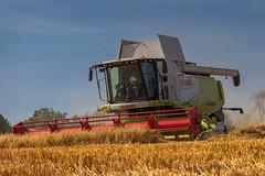 Eating Oats (Alan10eden) Tags: oats cereal harvest claas lexion combine cut summer bluesky countyarmagh gilford ulster arable tillage crop straw northernireland farm farmer grower alan hopps canon 80d 70200mm f40is alanhopps
