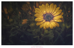 Gold in Essence (Dave Whiteman - AU) Tags: africandaisy flower osteospermum petals flora