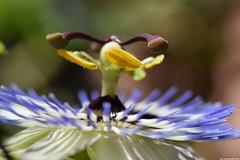 Passiflora Caerulea macro (_pkm_photography) Tags: pkmphotography2016 dslr nikon d3300 passiflora