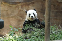 Fu Wa (福娃) aka Xing Xing 2016-06-16 (kuromimi64) Tags: zoonegara malaysia マレーシア 動物園 zoo nationalzoo zoonegaramalaysia kualalumpur クアラルンプール bear クマ 熊 panda giantpanda パンダ ジャイアントパンダ 熊猫 大熊猫 fengyi 鳳儀 liangliang fuwa 福娃 xingxing