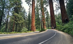 Forest (Tom -) Tags: forest tree nature sequoia national park road sony a7rii