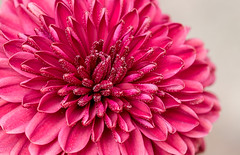 Chrysanthemum (digiphotonut) Tags: autumnflower chrysanthemum edgewood kentucky macro flower