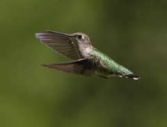 Ruby-throated Hummingbird (AllHarts) Tags: rubythroatedhummingbird spac hollyspringsms naturescarousel ngc npc