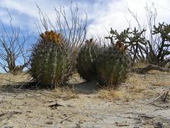 baja-0673 (Robby's Sukkulentenseite) Tags: bajasur cacti cactus ferocactus fnrrb1083 ka1147s kakteen kaktus mexiko peninsulae rb1083 reise standort townsendianus