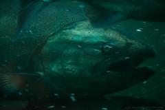 Upstream (CMWilhelm) Tags: salmon fish water ladder ballard locks seattle washington lake union canal migration eye