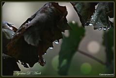 Immagini dell'autunno - Settembre-2016 (agostinodascoli) Tags: autunno settembre nikon nikkor pampini piante cianciana sicilia nature agostinodascoli foglie gocce macro