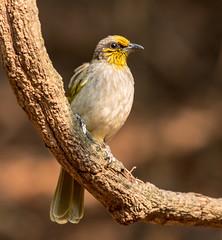 IMG_1850  Stripe-throated Bulbul (ashahmtl) Tags: stripethroatedbulbul bulbul bird songbird pycnonotusfinlaysoni kaengkrachannationalpark phetchaburiprovince thailand