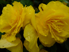 Yellow Begonias ! (Mara 1) Tags: flowers begonia yellow petals outdoors raindrops water droplets