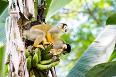 1/4 Black-headed Squirrel Monkey..Singe cureuil de Bolivie ..Saimiri boliviensis (geolis06) Tags: geolis06 prou peru per amriquedusud southamerica manu amazonie amazonia rainforest jungle fort forest madrededios biospherereserve parcnationaldeman mannationalpark 2016 patrimoinemondial unesco unescoworldheritage unescosite pantiacollatour nikon nikond7200 sigma sigma150600mmf563dgoshsmcontemporary primate monkey singe samirissaimiri boliviensisblackheaded squirrel pruviensingessamiris saimiriboliviensis blackheadedsquirrelmonkey squirrelmonkey sapajou sapajouttenoire singecureuilpruvien singecureuilperuvien blackheadedmonkey