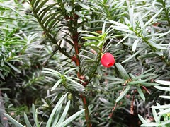 first (Lovely Pom) Tags: plant fruit red ripe first berry