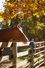 Autumn Horse (Shelley Paulson) Tags: equine fall fence halter horse fencing gate gaze lookingoverfence waiting